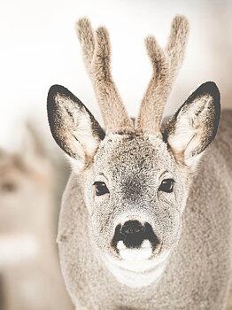 Reindeer Closeup, poster