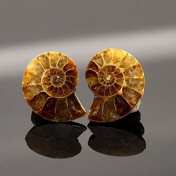 Cleoniceras.  Polished pair