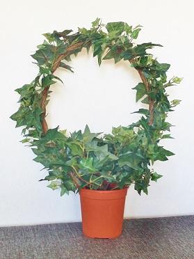 Jätte Murgröna - konstväxt