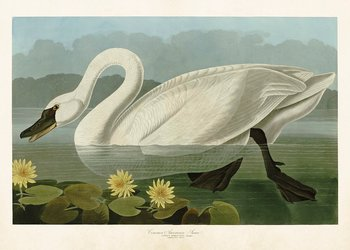 Poster The Swan 50x70 cm