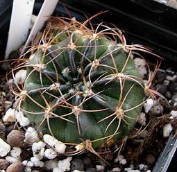 Lobivia calorubra v. pojoensis WR 188 (Pojo, Bol)