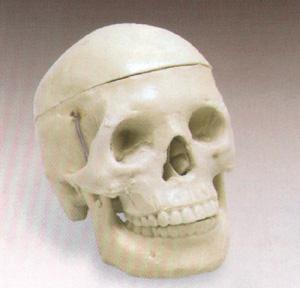 Anatomiskmodell skalle