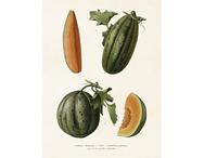 Affisch 'Melon' liten