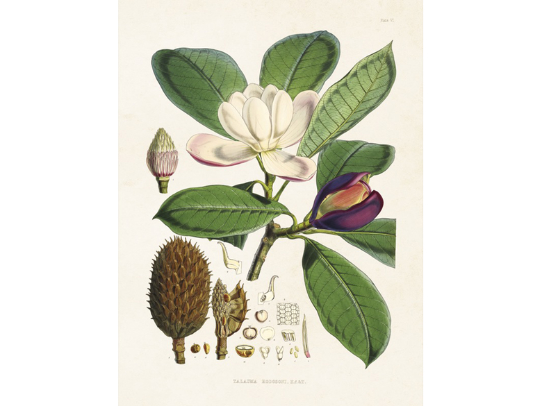 Affisch 'Magnolia' liten