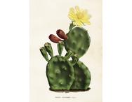 Affisch 'Kaktus' stor