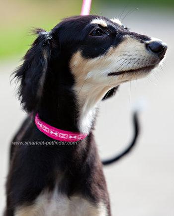 Boneyard Dog Collar