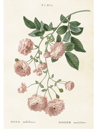 Gammaldags plansch skolplansch svenska växter ros rosa multiflora shabby chic lantlig stil