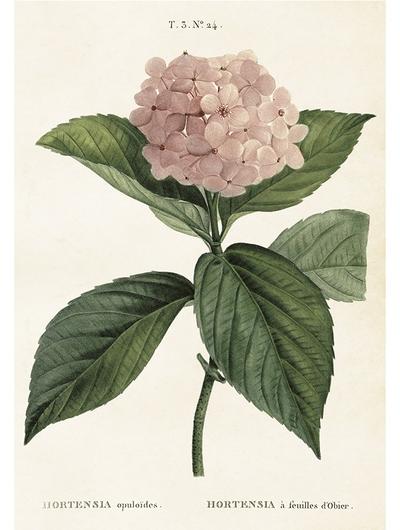Gammaldags plansch skolplansch svenska växter Hortensia rosa shabby chic lantlig stil