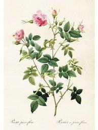 Gammaldags plansch skolplansch svenska växter ros glansros rosa shabby chic lantlig stil