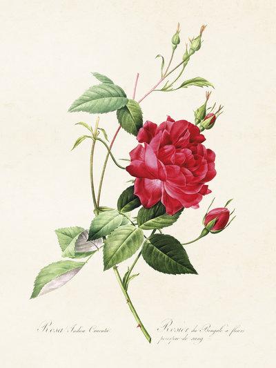 Gammaldags liten plansch skolplansch svenska växter ros Bengal Beauty shabby chic lantlig stil