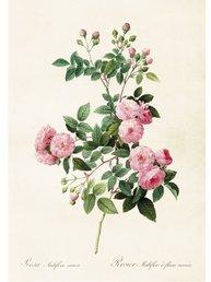 Gammaldags plansch skolplansch svenska växter klätterros ljusrosa multiflora shabby chic lantlig stil