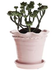 Succulent Aeonium konstväxt