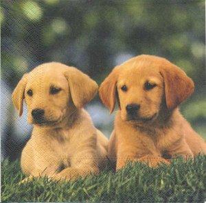 Hundvalpar   3088