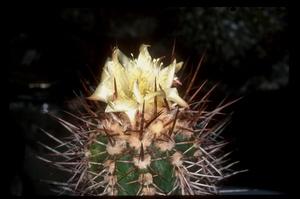 Copiapoa calderana 'spinosior' FK 46 (S Barquito)