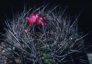 Eriosyce taltalensis v. pygmaea 'transiens' FK 765 (Caldera)