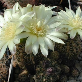 Gymnocalycium bruchii ssp. deminii  MN 80 (Capilla del Monte, Arg)