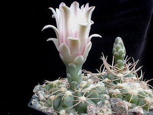 Gymnocalycium capillaense MN 75 (Capilla del Monte, Arg)
