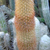 Haageocereus versicolor
