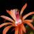 Hildewinteria aureispina (Cleistocactus winteri)