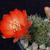 Rebutia atrovirens v. raulii WR 493