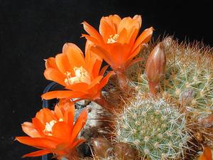 Rebutia fiebrigii v. MN 122 (Valle Colorado, Arg)