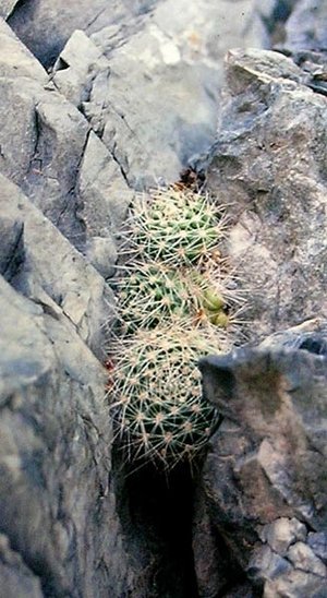 Rebutia minuscula 'xanthocarpa'  DSW 7 (Chorrillos, Arg)