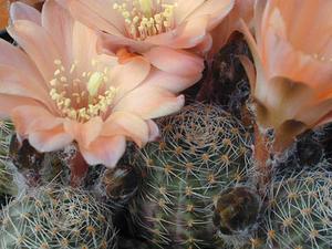 Rebutia pygmaea  MN 031 (Tilcara, Arg)