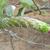 Cleistocactus micropetalus MN 783