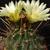 Ferocactus hamatacanthus v. sinuatus