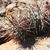 Austrocactus colloncurensis JN 1761 (Embalsa La Aguila, 607m, Neuquen, Arg