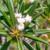 Pachypodium geayi v. ramosum