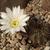 Lobivia aurea v. albiflora TB0640.1 (W of Tuclame, Cordoba, Argentina)