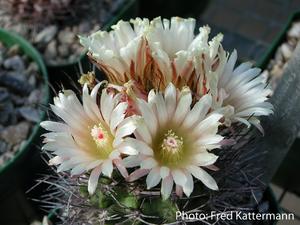 Eriosyce taltalensis ssp. paucicostata FK 387 (Paposo)