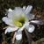 Trichocereus spec. MN 437 (Comarapa dam, Bol)