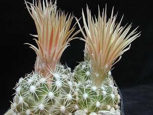 Escobaria missouriensis 'caespitosa' (Fayette Co, TX)