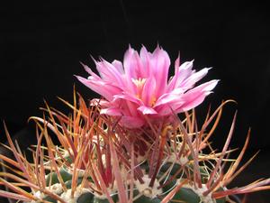 Ferocactus fordii v. borealis