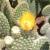 Opuntia microdasys fma albispinus