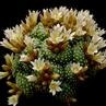 Blossfeldia liliputana 'pedicillata' FR 749  (Tomina, Chuquisaca, Bolivia)