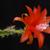 Disocactus cinnabarinus (Patzun, Guatemala)