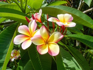 Plumeria cv. mixed colours