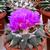 Ariocarpus confusus SB 1426 (Marmolejo, NL)