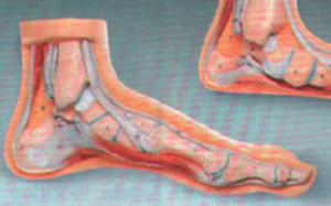 Anat. modell fot normal
