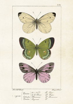 Poster Fjärilar 35 * 50 cm