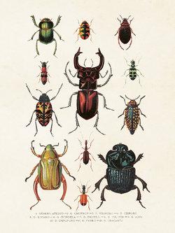 Poster Skalbaggar 18 * 24 cm