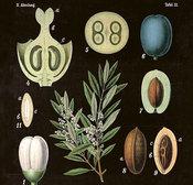Juliste Oliivi 18 * 24 cm