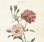 Juliste Ruusu 35 * 50 cm
