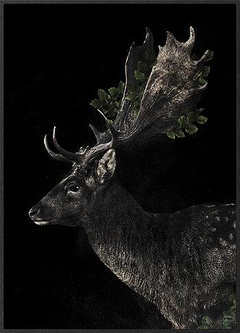Fallow deer black