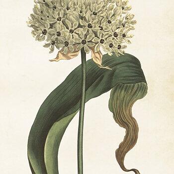 Poster Allium 50x70 cm
