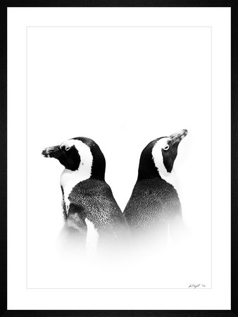 AFRICAN PENGUIN- Limited Edition   / 30