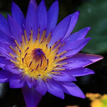 Blue Lily (Nymphaea caerulea) Flower Tincture - 15:1 Liquid Extract